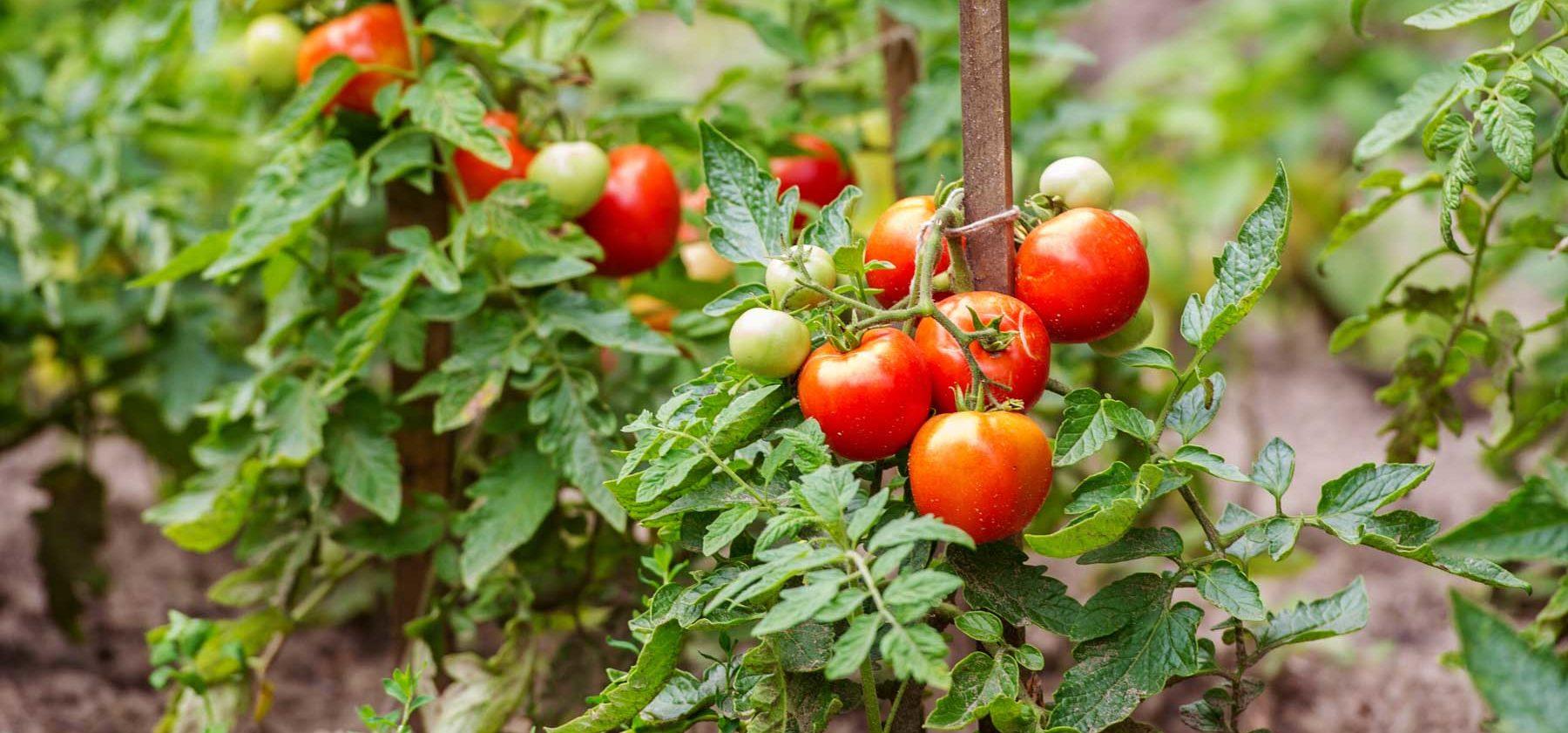 culture tomates